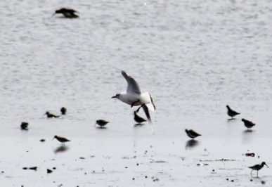 Black-headed Gull flying (Image by David Horowitz)