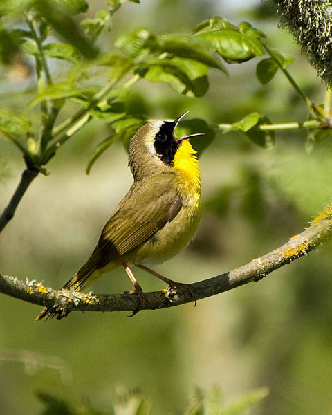 Common_Yellowthroat,_Finley_NWR_(13887001167)
