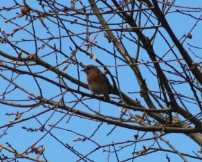 Eastern Bluebird (Image by David Horowitz)