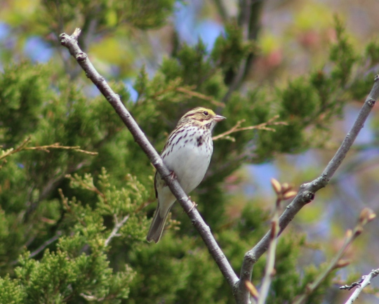 Savannah Sparrow (Image by BirdNation)