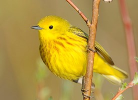 YellowWarbler-Vyn_090607_5600