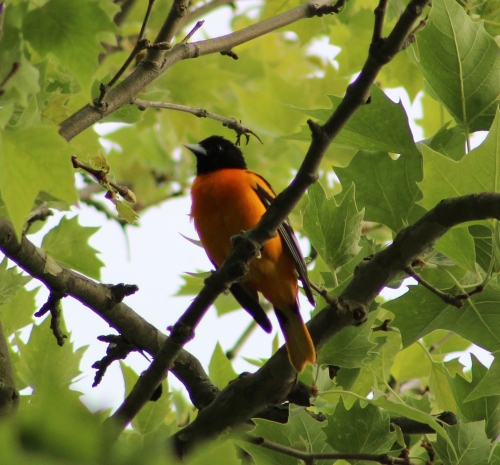 Baltimore Oriole male (Image by BirdNation)