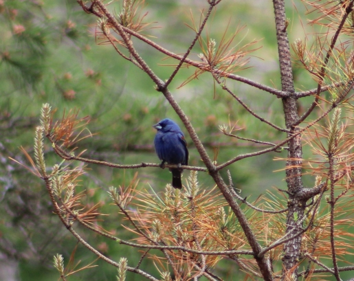 Blue Grosbeak (Image by David Horowitz)
