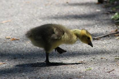 Canada Gosling (Image by BirdNation)