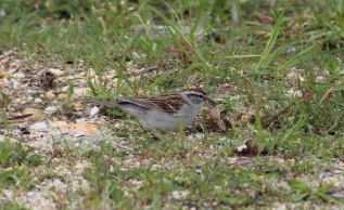 Chipping Sparrow (Image by David Horowitz)