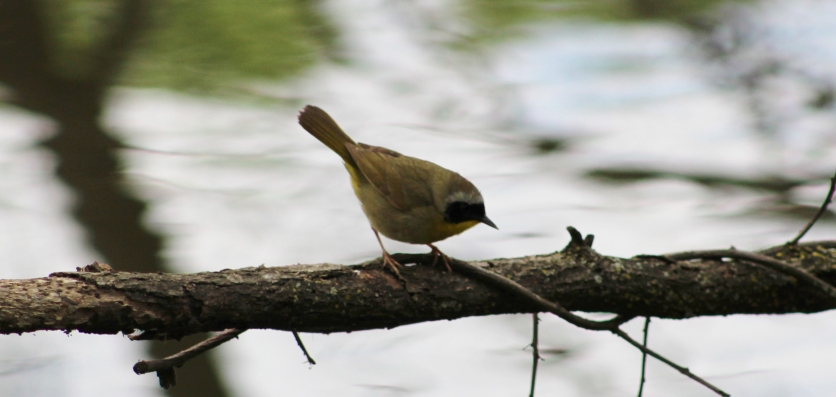 Common Yellowthroat (Image by David Horowitz)
