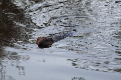 Boundary Creek Beaver (Image by BirdNation)