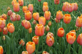 Tulips (Image by BirdNation)