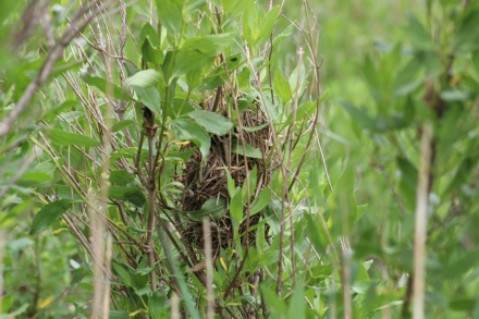 Marsh Wren nest (Image by David Horowitz)