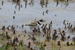 Semipalmated Plover (Image by David Horowitz)