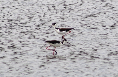 Black-necked Stilts (Image by David Horowitz)