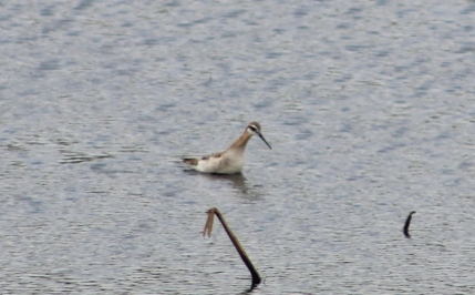 Wilson's Phalarope? (Image by David Horowitz)
