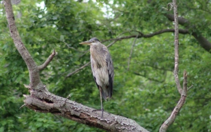 Great Blue Heron (Image by David Horowitz)