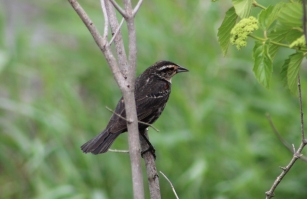 Female Red-winged Blackbird (Image by BirdNation)