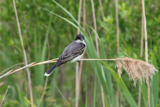 Eastern Kingbird (Image by David Horowitz)