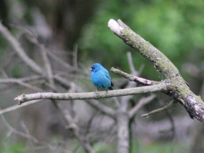 Indigo Bunting (Image by David Horowitz)