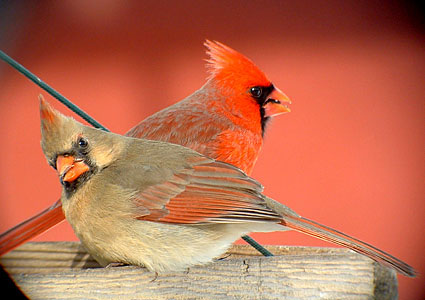Cardinals-image-cardinals-36106940-425-300