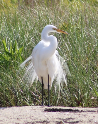 Great Egret (Image by BirdNation)