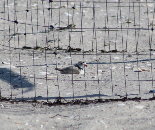 Piping Plover in a nesting area (Image by BirdNation)