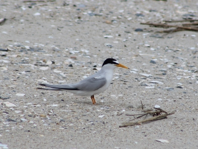Least Tern (Image by David Horowitz)