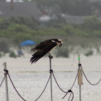 Osprey (Image by David Horowitz)