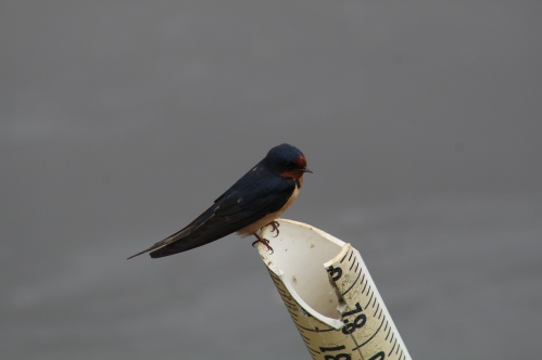 Barn Swallow (Image by BirdNation)