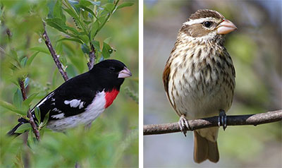 Rose-breasted Grosbeak male (L) and female (R) (Image via dnr2.maryland.gov)