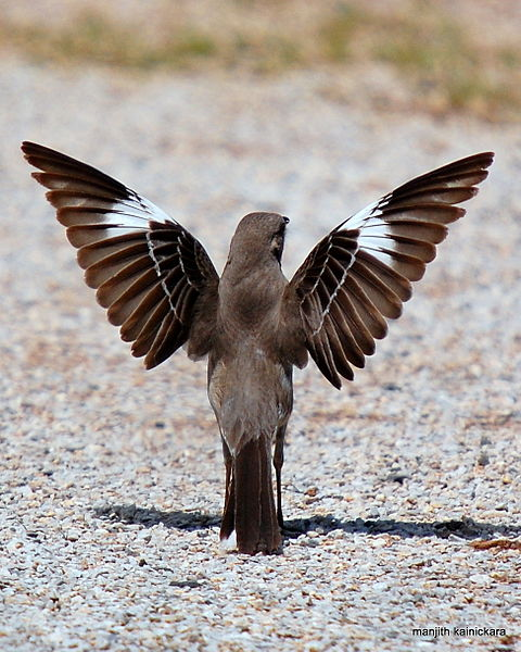 480px-Northern_Mocking_Bird_Display