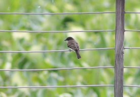 Eastern Phoebe (Image by BirdNation)