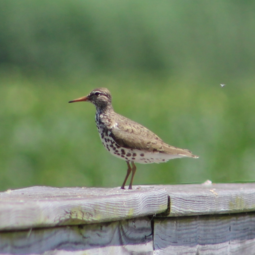 Spotted Sandpiper (Image by David Horowitz)