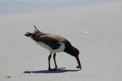 American Oystercatcher A65 (Image by David Horowitz)