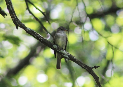 Eastern Wood-Pewee (Image by David Horowitz)