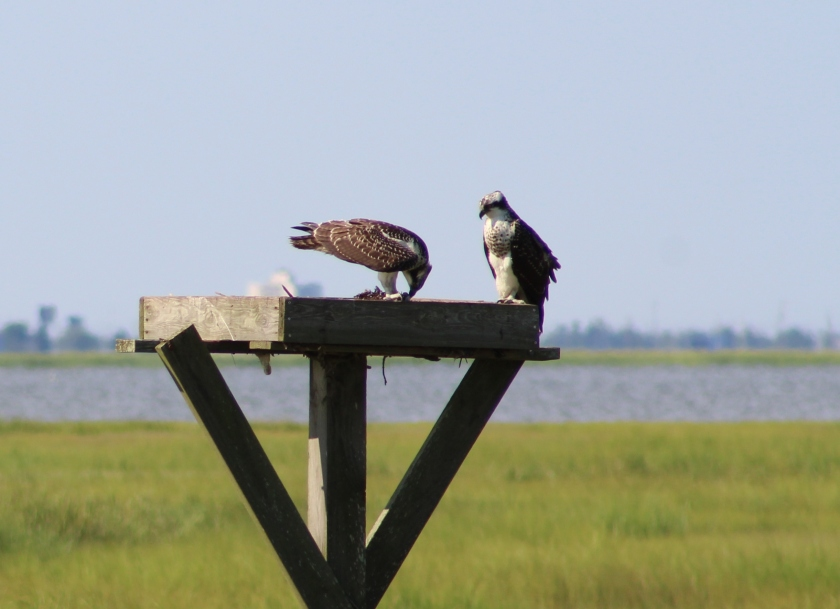 feeding ospreys.jpg