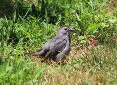 Gray Catbird (Image by BirdNation)