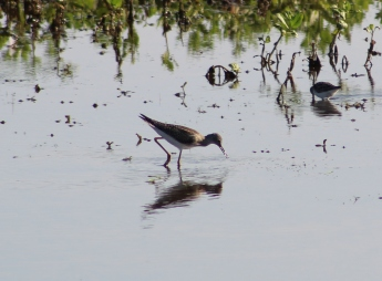 Greater Yellowlegs (Image by David Horowitz)