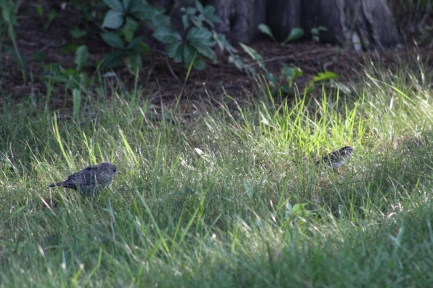 Juvenile Cowbird follows Chipping Sparrow (Image by David Horowitz)