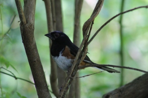 Eastern Towhee (Image by BirdNation)