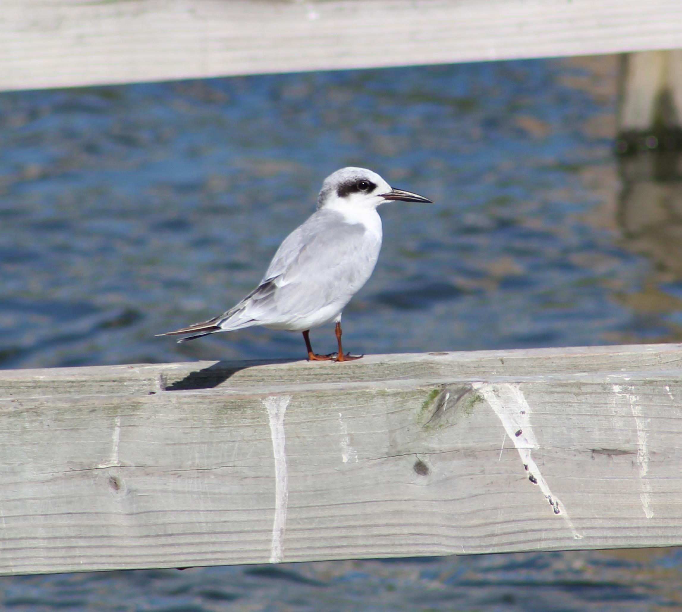 juvenile tern.jpg