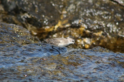 Semipalmated Sandpiper on the Rocks (Image by David Horowitz)