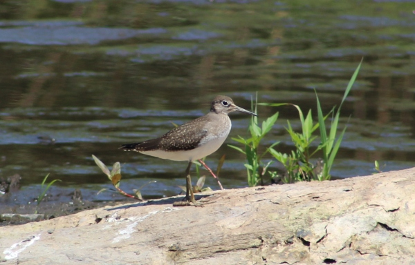 Solitary Sandpiper (Image by David Horowitz)
