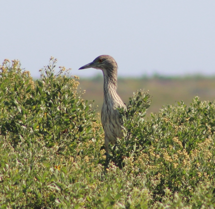 Black-crowned Nigh-Heron Immature