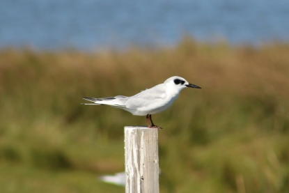 Forster's Tern Non-breeding Plumage (Image by BirdNation)