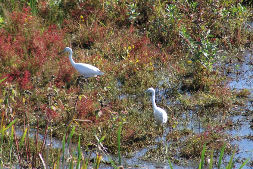 Little Blue Herons