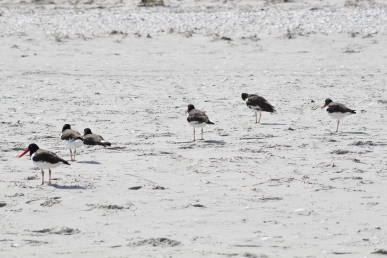 American Oystercatcher flock (Image by BirdNation)