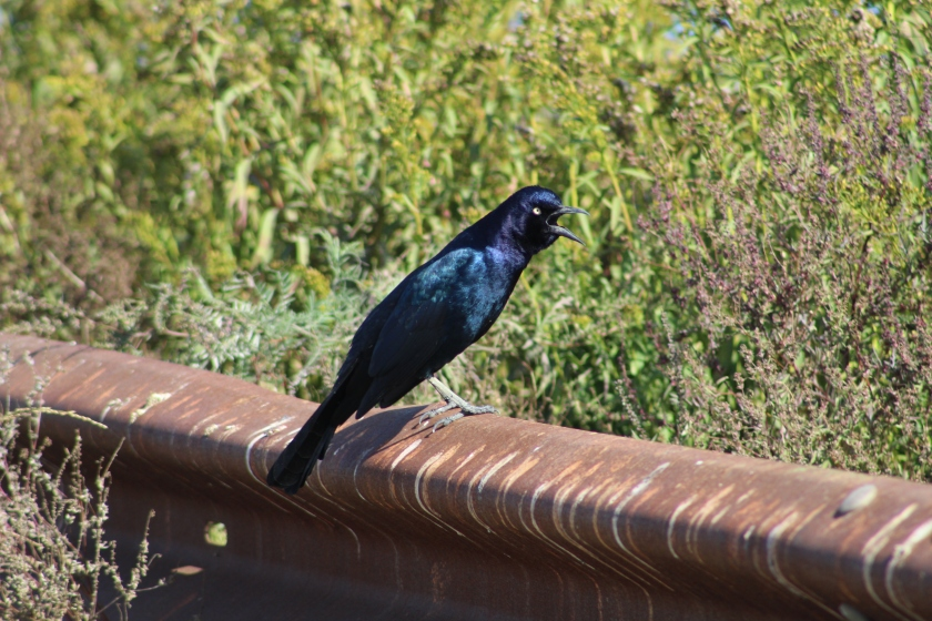 Boat-tailed Grackle male