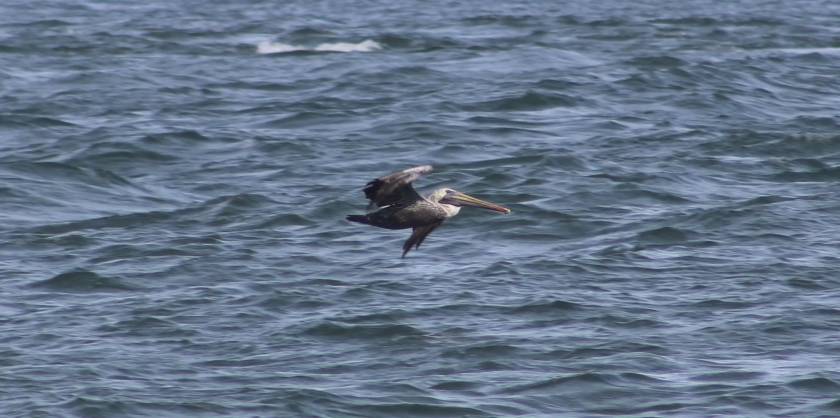 brown pelican 4
