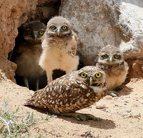 Burrowing-Owl-Habitat