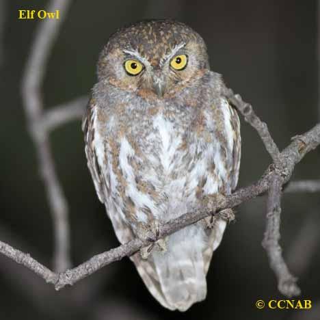 elf-owl-13