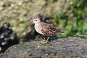 Least Sandpiper (Image by David Horowitz)