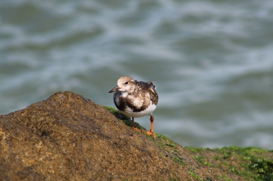 Ruddy Turnstone female (Image by David Horowitz)